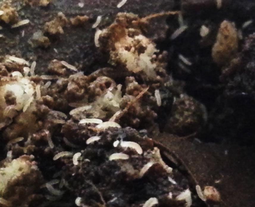 Cultivo de Folsomia fundida